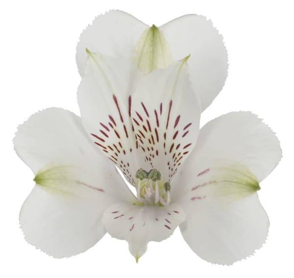 Alstroemeria Argenta