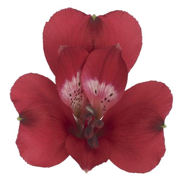 Alstroemeria Cardinal