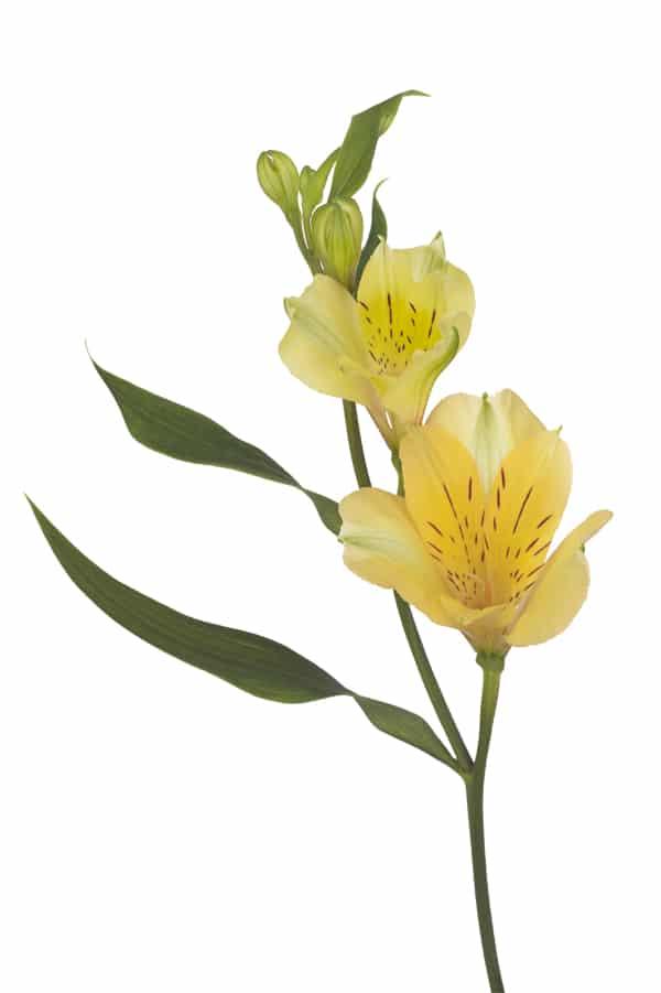 Alstroemeria Florinca Sola